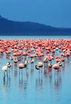 During the summer, flamingos travel between the alkaline lakes in eastern Africa's Rift Valley.