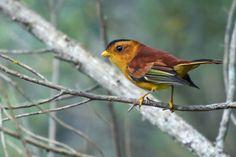 Foto caneleirinho-de-chapéu-preto (Piprites pileata) por Thiago T. Silva   Wiki Aves - A Enciclopédia das Aves do Brasil