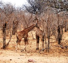 Giraffe in Chobe NP