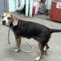 Gardena Ca Beagle Meet Momo A Pet For Adoption Adoptable Beagle Beagle Animal Welfare Quote