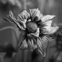 Black and white photograph of the textured and wrinkled petals of a dead flower. Square format - available in two sizes only. Black And White Flowers, Black And White Drawing, Black And White Portraits, Black N White, Black And White Photography, Amazing Photography, Portrait Photography, Nature Photography, Micro Photography