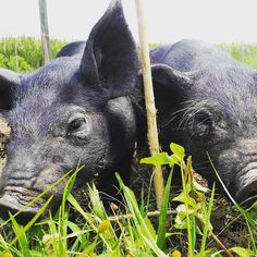At the farm we love our animals they keep everyday alive and keep our permaculture system running. Especially this new addition; 2 balinese black pigs #pigs #blackpigs #nowaste #permaculture #recylce #farm #farming #smallfarm #ubud #bali
