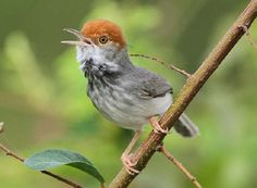 New Species of Bird Discovered in Cambodian Capital Highlights Plight of Birds Worldwide