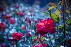 Rose dreams by Ryusuke Komori on 500px