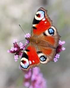 Peacock butterfly by Peter Lesseur