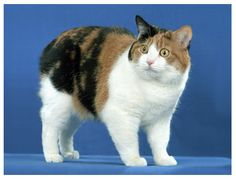 This calico manx looks so stunned to be photographed