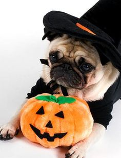 Well it wouldn't be Halloween, would it, without an adorable costumed pug?