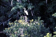 Great White Heron roosting in a tree