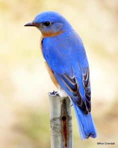 Spring Blue Bird - by robberfly12