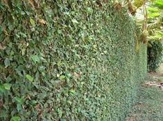 Ficus Repens - Google Search