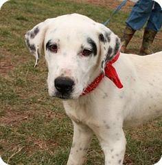 Washington, DC - Great Dane/Labrador Retriever Mix. Meet Petey, a puppy for adoption. http://www.adoptapet.com/pet/15146821-washington-dc-great-dane-mix