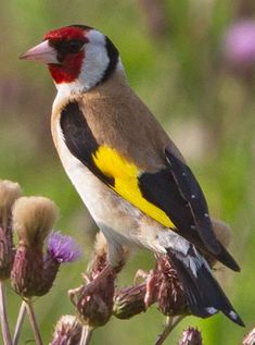 Distelfink/ goldfinch likes thistle seed and other untreated seeds, insects for chicks. Feed in deep winter with hemp and sunflower seed.