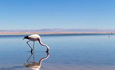 Deslumbrante é uma palavra que venho usando muito nas últimas 24 horas. E o Salar do Atacama é isso aí, deslumbrante. Centenas de flamingos se alimentam de micro crustáceos ancestrais que nascem e se reproduzem apenas neste bioma extremo - o salar do Atacama tem cerca de 3mil quilômetros quadrados
