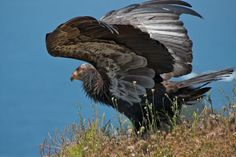 The California condor became extinct in 1987 but has been reintroduced to northern Arizona and southern Utah . Defenders of Wildlife .