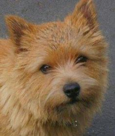 Gorgeous Norwich Terrier