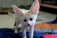 Fennec Fox Sale New York | Petzlover