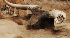 A bull's head excavated at Ҫatalhöyük. Image: Jason Quinlan/Ҫatalhöyük Research Project