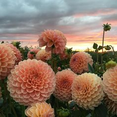"""12.7k Likes, 108 Comments - Erin Benzakein - Floret (@floretflower) on Instagram: """"When flowers look like they are becoming one with the sky. #growfloret #floretbulbs"""""""