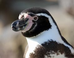Humboldt Penguin | sadly the humboldt penguin is on the decline though they