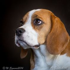 The look only a beagle can give you