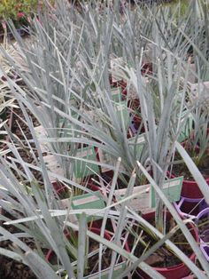 Lomandra glauca blue ridge gardening grasses and grass for Ornamental grasses that stay green all year