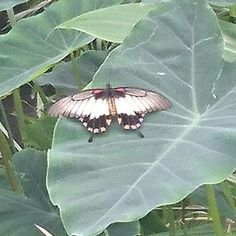 Another pretty flutterby at Tropical World (no filter!)