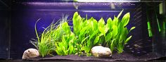 Below is a list of the best freshwater aquarium plants for beginners. Freshwater aquarium plants consist of carpet, mid-ground, and background plants.