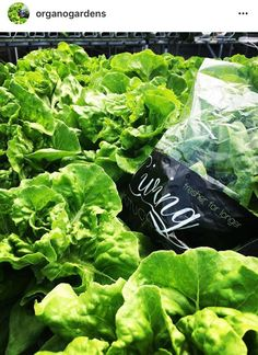 OGTT is on a mission to supply fresh organic produce to our Caribbean consumers. Our goal is to maintain affordability for our high quality produce! Future Farms, Lettuce, Agriculture, Trinidad And Tobago, Caribbean, Goal, Healthy Living, Gardens, Wellness