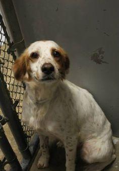 BEAUTIFUL TINA...PLEASE ADOPT! Beautiful spaniel, available for adoption June 9 at high-kill shelter