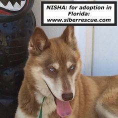 #Siberian #Husky NISHA is available for #adoption in #Florida from our #dogrescue: www.siberrescue.com