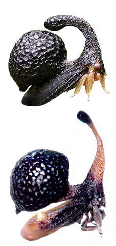 Cladonota (Lecythifera) inflata; Cladonota (Lecythifera) plummeri