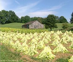 Tobacco farming in KY - you used to see this everywhere but it's mostly a thing of the past now