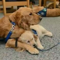Precious comfort dog taking a break from training his pup!