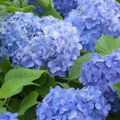 Hydrangea macrophylla 'Blue Danube' | Thompson & Morgan