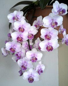 Phalaenopsis Orchid White w/ Purple