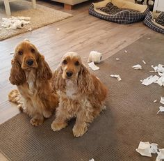 "3,485 Likes, 87 Comments - Remu and Roope (@remuandroopethespaniels) on Instagram: ""Oops... Don't me mad Dad just left the door open.. #cockersofinstagram #spaniel #dogsofinstagram…"""