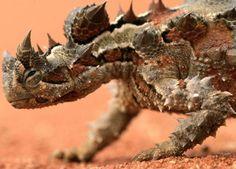 """DIABO ESPINHOSO - É um pequeno réptil existente na Austrália cuja dieta consiste somente em formigas. Não ultrapassa os 20 cm de comprimento. As fêmeas são maiores que os machos. Controlam sua cor como os camaleões e varia entre o amarelo e o castanho escuro, conforme o solo. Possui uma """"falsa cabeça"""" atrás da verdadeira que utiliza para confundir os predadores. Possui espinhos cônicos por todo o corpo exceto na barriga onde são substituídos por protuberâncias."""
