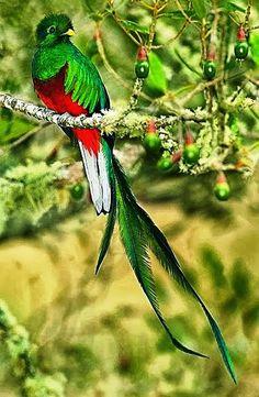 Quetzal.