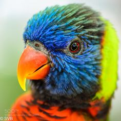 Popular on 500px : Lorikeet Headshot by sbhat3