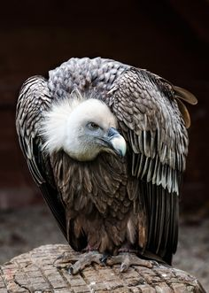 Griffon Vulture (Gyps fulvus) by Jean-Claude Sch. on 500px