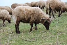 Schafherde auf Jersey auf den Kanalinseln. Jersey ist ein tolles Reiseziel. Im Länder und Leute Blog erzählen wir Ihnen warum.
