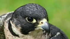 Nombre de aves rapaces características y hábitat