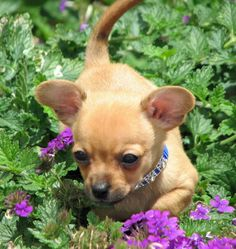 Charlie the Chihuahua Mix, SOMEONE SAVE ME FROM THE CUTENESS!!!!