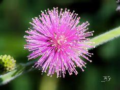 Camera Phone, Dandelion, Flowers, Plants, Dandelions, Florals, Planters, Flower, Still Camera