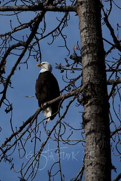 Handsome Bald Eagle