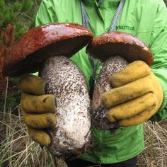 Wild Edible mushrooms                                                                                                                                                                                 More