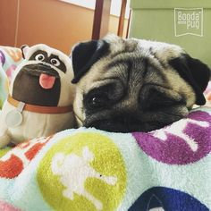 Bedtime for Stella and her toy dog. Please follow @boodapug ! #pugsofinstagram #pugs by pugsofinstagram