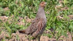 Koroptev polní (Perdix perdix),Jarabica poľná,Rebhuhn,Grey partridge