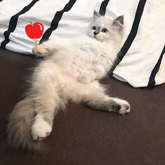 Yeah yeah im chilling.. 😎  #cat #gucci #meow #ragamuffin #ragdoll #catstagram #pet #cute #apple #baby #펫스타그램 #렉돌 #라가머핀 #고양이 #구찌 #애기 #🍼 #💕 #😻 #❤️ #😘