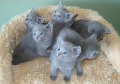 Russian Blue Kittens. At least I know what kind of cat I have.